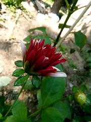 Dahlia flower .............. (argharaha123456) Tags: photography explore nature beautiful wallpaper ogq