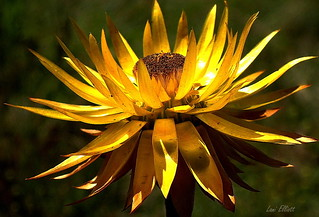 SUNNY YELLOW PAPER DAISY.....SMILE ON SATURDAY