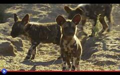 La straordinaria curiosità dei cuccioli di licaone (mondoanimale) Tags: animali africa cani documentari tv