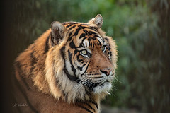 Sumatran Tiger (m) (K.Verhulst) Tags: cats blijdorp diergaardeblijdorp rotterdam tijger tiger sumatraansetijger sumatrantiger coth5 ngc