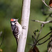 Downy Woodpecker (m)