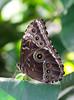 Butterfly (LuckyMeyer) Tags: butterfly schmetterling brown makro green botanical garden bananenfalter