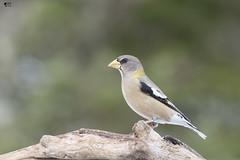 ''La pose!'' Gros-becs errant- Evening grosbeak (pascaleforest) Tags: oiseau bird passion nikon nature faune wild wildlife québec winter hiver canada animal