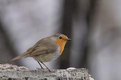 IMG_4110 (Rorals) Tags: bird birdsofbritain rspb cuningarloop cuningarwoodlandpark winterwatch springwatch songbird gardenbirdwatch wildlife britishwildlife robin