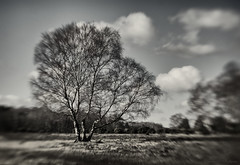 the dreaming trees 6/100x 2018 (sure2talk) Tags: thedreamingtrees trees newforest 100xthe2018edition 100x2018 image6100 blackandwhite monochrome lensbaby lensbabycomposerpro lensbabylove sweet50optic blur landscape flickrfriday paintthesky 6100x2018 100shotswithalensbaby