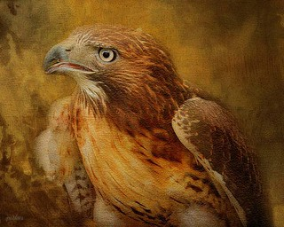 Red Tailed Hawk...