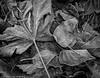Winter Leaves (Ramona H) Tags: bellingham interurban usa washingtonstate whatcom whatcomcounty alder cottonwood frost hiking maple winter