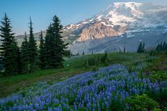 Purples (Laura Jacobsen) Tags: hiking mtrainier mtrainiernationalpark mttahoma nationalparks paradise rainier wildfire wildflowers