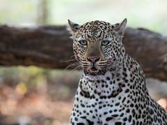 Leopard (Thomas Retterath) Tags: 2017 natur nature southluangwavalley sambia zambia africa afrika pukuridge allrightsreserved thomasretterath copyrightthomasretterath adventure wildlife abenteuer bigfive leopard felidae raubtiere predator carnivore säugetier mammals animals tiere pantherapardus coth5