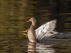 Enten Lady (wernerlohmanns) Tags: wildlife wasservögel eulen entenvögel outdoor natur naturpark nabu nikond750 schärfentiefe sigma150600c deutschland nsg