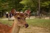東大寺 - Tōdaiji (Hachimaki123) Tags: 日本 japan nara 奈良 鹿 動物 animal deer ciervo cervusnippon 東大寺 tōdaiji