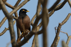 Common Myna Acridotheres tristis Hampi India 1a (JohnMannPhoto) Tags: common myna acridotheres tristis hampi india