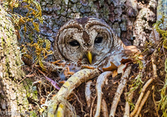 Barred Owl (billfoxworthy) Tags: barred owl raptor tree nest babys olympus