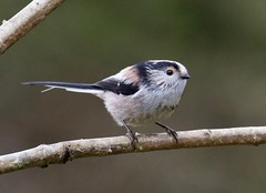 Long Tailed Tit - Taken at Summer Leys Nature Reserve, Wollaston, Upper Nene Valley, Northants, UK (Ian J Hicks) Tags: