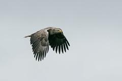 F1 WTE Pinky -1387 (WendyCoops224) Tags: 100400mml 80d isleofmull scotland canon eos ©wendycooper white tailed eagle haliaeetus albicilla raptors