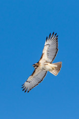 Screech! (brendon_curtis) Tags: canon 7dmkii eos usm 500mm f4l is 14xiii 14x iii lens super telephoto nature natural raptor birds prey bird flight sky