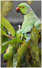 Rose-ringed parakeet feasting on a guava (Ramalakshmi Rajan) Tags: d750 nikond750 nikkor70300mm nikon parrots parrot inmygarden j