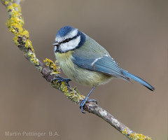 Blue Tit-7446 (martinpettinger) Tags: tit blue lichen afternoon winter england somerset portrait tiny small cute feisty