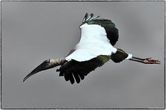 wood stork (RKop) Tags: alafiabnaks raphaelkopanphotography florida nikon d500 nikkor600f4evr 14tciii wildlife