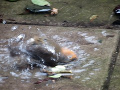 Snow Cold Robin Bath 04-03-2018 (gallftree008) Tags: snow chilled water robin redbreast washing itself like having bath its feathers by dunking head under my backyard swords co dublin ireland after storm emma now complete thaw 04032018 thebeastfromtheeast stormemma