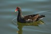 Water glide (ChicagoBob46) Tags: commongallinule gallinule bird florida sanibel sanibelisland nature wildlife ngc coth5 npc