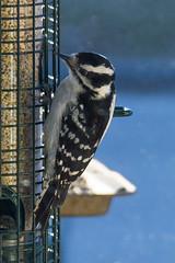 DUW_2719r (crobart) Tags: downy woodpecker bird feeder