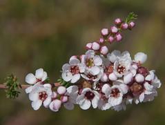 Babingtonia camphorosmae, Hartfield Park, Perth, WA, 30/11/17 (Russell Cumming) Tags: plant babingtonia babingtoniacamphorosmae myrtaceae hartfieldpark perth westernaustralia