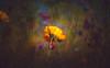 Wildflower (Dhina A) Tags: sony a7rii ilce7rm2 a7r2 minolta rf rokkorx 250mm f56 mirror reflex minolta250mmf56 md prime rokkor bokeh flower wildflower