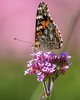 Painted Lady (Dean OM) Tags: flower butterfly color insect painted lady admiral nature