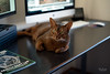 Felix likes to get my attention if he feels he is being ignored by laying in front of me and the screens (Ref54) Tags: m10 abyssinian 50apo purr beauty abbt leica apo