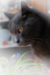 Cat (Pittou2) Tags: luc nx samung france byluc pittou2 chat cat animal animaldecompagnie humour humoristique laviedesanimaux oeil oeildechat animaldomestique animauxdomestique têtedechat tête domestique chatdomestique