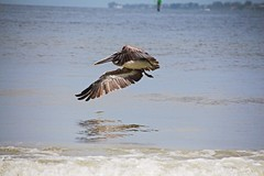 Moving On (Michiale Schneider) Tags: water bird nature pelican brown gulfofmexico fortmyersbeach florida beach