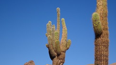 114 KaktusTal - cactus valley (roving_spirits) Tags: chile atacama atacamawüste atacamadesert desiertodeatacama désertcôtier küstenwüste desiertocostero coastaldesert