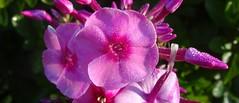 phlox with dew (Martin LaBar) Tags: southcarolina pickenscounty flower flor flowers waterdrop waterdrops phlox polemoniaceae phloxpaniculata