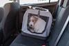 Sara. Sometimes I am not happy. 3/52 (Tõnno Paju) Tags: sara dog animal pet nikon sigma 52weeksfordogs jack russel terrier car unhappy