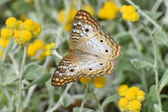 Butterfly 2017-184 (michaelramsdell1967) Tags: butterfly butterflies animals animal insect insects macro nature flower flowers field meadow beauty beautiful vivid vibrant green closeup upclose pretty bug bugs wings wing detail zen wildlife wildflowers