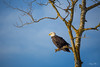 Watching and waiting (Nancy Rose) Tags: 8406 eagle americanbaldeagle watching gaspereauvalley novascotia