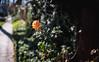 ILCE-7M2-00516-20180123-1517-Pano // Minolta MD (MD-III) 50mm 1:2 (Otattemita) Tags: 50mmf20 bokehpanorama bokehrama brenizermethod florafauna minolta minoltamdmdiii50mmf20 fauna flora flower nature plant wildlife minoltamdmdiii50mm12 sonyilce7m2 ilce7m2 sony cnaturalbnatural 50mm