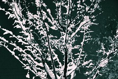 Cold night (davoodghaeni) Tags: iran poonak night tree tehran bahman winter snow