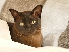 You want ME to move? (Englepip) Tags: animal cat burmese portrait cosy territorial blanket