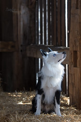 Its up there!! (Rainfire Photography) Tags: pet photography dog bordercollie rainfirephotography pickering ontario nikon barn country farm beams funwithlight animal