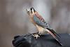 American kestrel (JamesK_5) Tags: americankestrel hawk raptor sigma 100400mm f563 dg os hsm contemporary lens