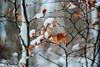 the White Queen I (culuthilwen) Tags: sonyalpha230 autorevuenon autorevuenon55mmf14 55mm 55mmf14 f14 revuenon revuenon55mmf14 sonysti m42 winter snow bokeh foliage leaves branches forest blurry dof nature orange white vintagelens