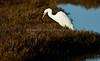 HaywardRegional_021018_058 (kwongphotography) Tags: hayward ca calif wildlife wildlifephotography nature naturephotography birds birdphotography greategret egret ornithology birdwatching birdlovers haywardregionalshoreline eastbayregionalparks unitedstates