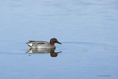 Sarcelle d'hiver (mâle) (Luc Bisensang Photographies) Tags: canard leteich male sauvage dhiver oiseaux sarcelle lucbisensang