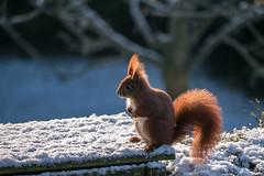 Eichhörnchen im Schnee (p.schmal) Tags: panasonicgx80 hamburg farmsenberne eichhörnchen schnee
