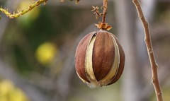 Australian Kapok Fruit (3) (Richard Collier - Wildlife and Travel Photography) Tags: naturalhistory nature flowers australia australiankapokfruit macro closeup fruit seedpod flora