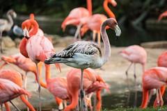 Flamingos (awdylanis) Tags: flamingos flamingoes wading bird wadingbird phoenicopteridae tampa florida fl buschgardens busch gardens flock group wade balance oddmanout special different flamboyance stand