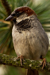 IMG_4818 (Lightcatcher66) Tags: spatzensparrows florafauna makros lightcatcher66