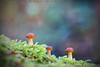 El Trio (www.studio360fotografia.es) Tags: zeissikonvariotalon70120mm trio tres three 3 olympus omd em10 proyector projector mushroom bokeh desenfoque colores colors nature naturaleza fantasia fantasy fungi